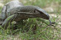 Ящерица монитора в национальном парке Yala стоковое изображение