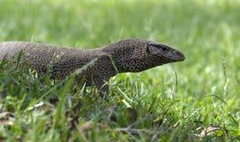 Ящерица монитора в национальном парке Yala Стоковая Фотография