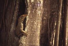 Ящерица монитора в своей среде обитания Стоковые Изображения RF