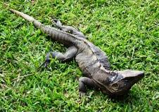 Ящерица монитора на траве Стоковые Фото