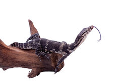 Ящерица монитора Тимора, timorensis Varanus, на белизне Стоковое Изображение RF