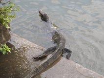 Ящерица монитора стоковое изображение rf