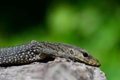 Ящерица монитора - Varanus Сальвадор - гады Таиланда Стоковые Изображения RF