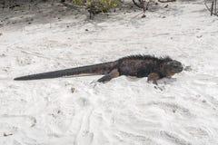Ящерица моря на утесе на пляже Стоковое фото RF
