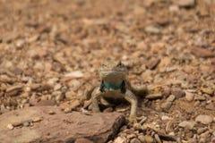 Ящерица мужской пустыни колючая Стоковая Фотография RF