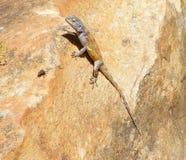 ящерица мухы Стоковые Фотографии RF