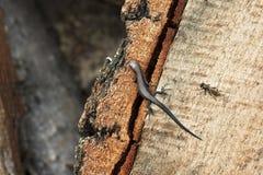 ящерица мухы Стоковое Фото