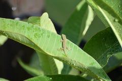 Ящерица младенца на больших зеленых лист Стоковые Изображения