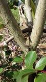 Ящерица младенца Стоковое Изображение