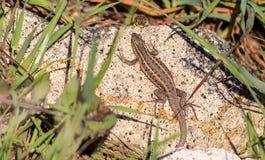 Ящерица наблюданная змейкой Стоковые Фото