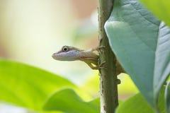 Ящерица над листьями и ветвью дерева Стоковые Фото