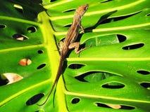 Ящерица на больших лист Стоковое Изображение RF