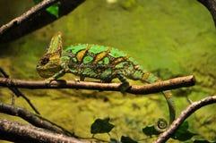 Ящерица на болоте Стоковые Изображения RF