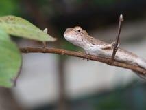 Ящерица на ветви дерева Стоковые Фото