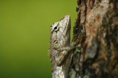 Ящерица на дереве стоковые фотографии rf