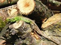 Ящерица на древесине Стоковое Изображение