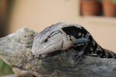 Ящерица на зоопарке Стоковое Фото