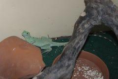 Ящерица на зоопарке Стоковые Изображения RF