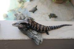 Ящерица на зоопарке Стоковое Изображение RF