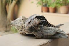 Ящерица на зоопарке Стоковая Фотография RF