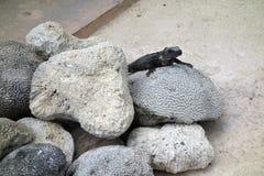 Ящерица на камне Стоковое Фото
