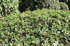 Ящерица на кусте Стоковая Фотография RF