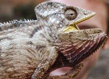 Ящерица на Мадагаскаре Стоковое Фото