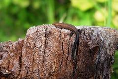 Ящерица на пне Стоковое Изображение