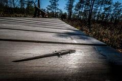 Ящерица на солнечном пути стоковые изображения