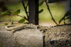Ящерица на стене Стоковая Фотография