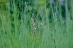 Ящерица на траве Стоковые Изображения