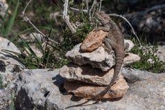 Ящерица на утесе на острове Delos в Кипре Стоковое Фото