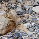 Ящерица на утесе Стоковое Изображение RF