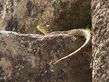 Ящерица на утесе Стоковое Фото