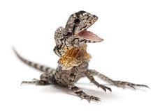 ящерица оборки necked Стоковое Изображение RF