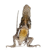 ящерица оборки necked Стоковое фото RF