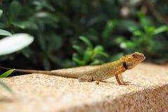ящерица одичалая Стоковое фото RF
