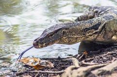 Ящерица от Таиланда Стоковые Фотографии RF