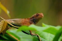 ящерица одичалая Стоковые Фотографии RF