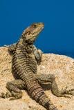 ящерица одичалая Стоковая Фотография RF