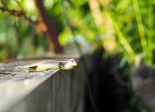 Ящерица одичалого размера skink малого тропическая в Scincidae семьи Стоковые Фотографии RF