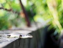 Ящерица одичалого размера skink малого тропическая в Scincidae семьи Стоковое фото RF
