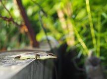 Ящерица одичалого размера skink малого тропическая в Scincidae семьи Стоковые Изображения RF
