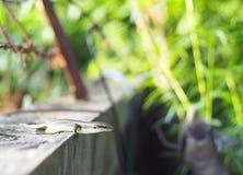 Ящерица одичалого размера skink малого тропическая в Scincidae семьи Стоковое Фото