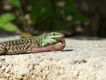 Ящерица песка ест earthworms Стоковые Фотографии RF
