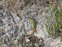 Ящерица под солнцем Стоковое Фото