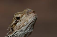 ящерица предпосылки коричневая Стоковые Изображения RF