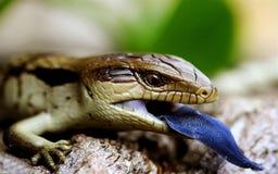 Ящерица при голубой язык сидя на журнале Стоковые Изображения