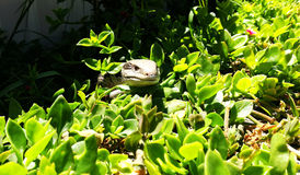 Ящерица пряча в саде Стоковое Изображение