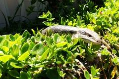 Ящерица пряча в саде Стоковые Изображения RF